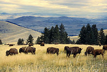 The Cattle Upon a Thousand Hills